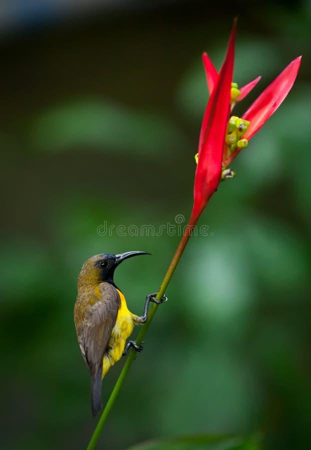 Sunbird Olive-desserré (jugularis de Cinnyris) photos libres de droits