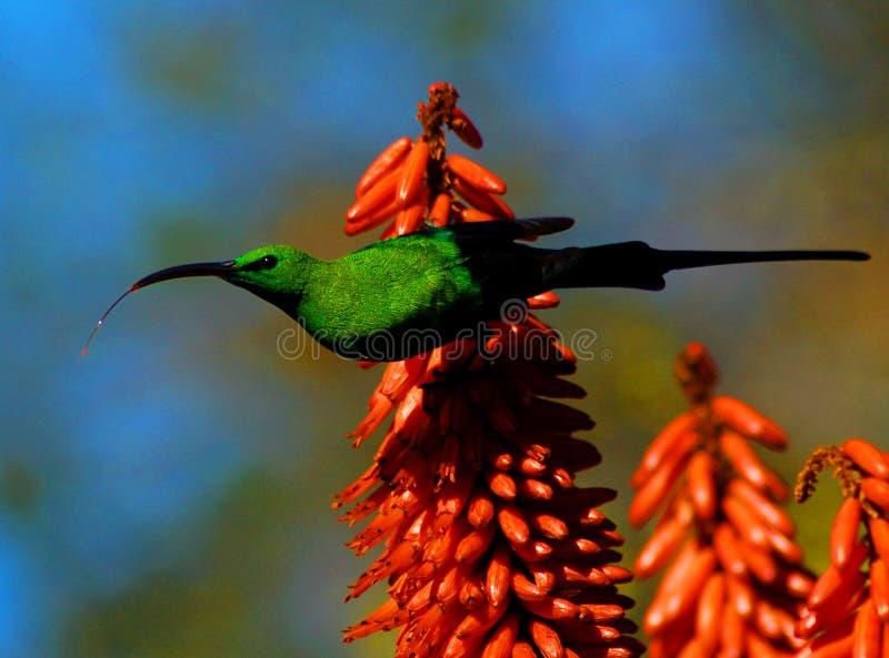 Sunbird op Aloë royalty-vrije stock afbeelding