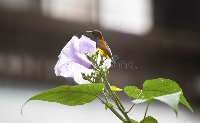 Sunbird på den purpurfärgade blomman fotografering för bildbyråer