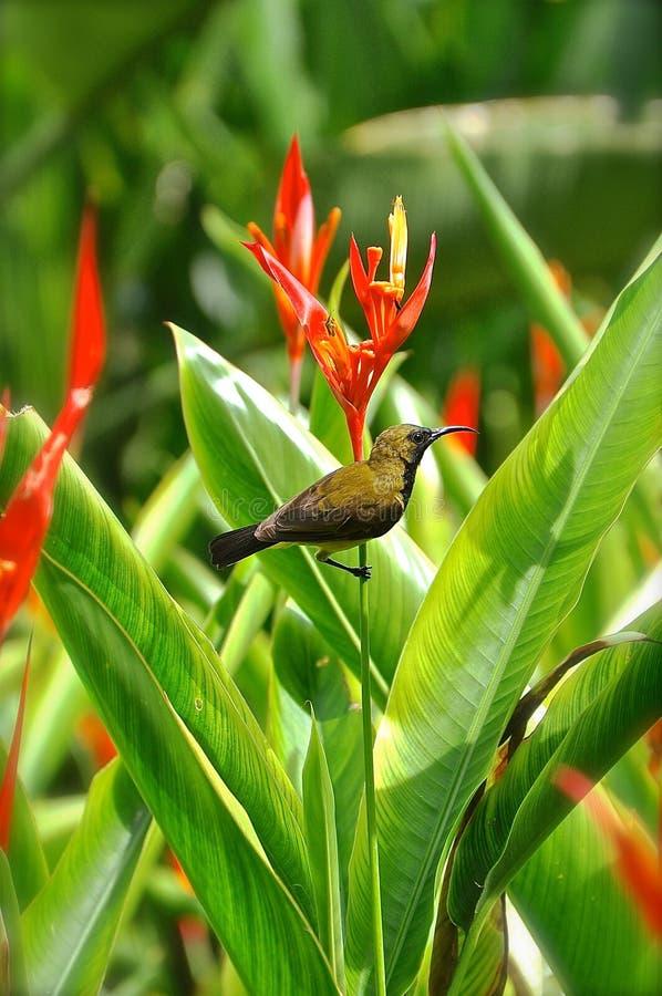 Sunbird på en fågel av paradisblomman royaltyfri foto