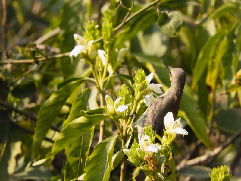 Sunbird púrpura fotos de archivo