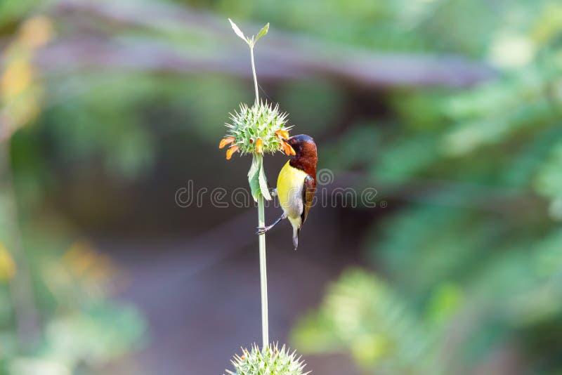 Sunbird púrpura masculino de Rumped fotografía de archivo