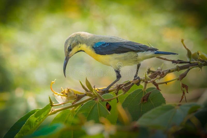 Sunbird p?rpura masculino en no plumaje de la cr?a foto de archivo libre de regalías