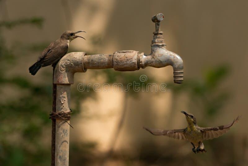 Sunbird passt einen anderen Schwebeflug unter Hahn im Freien auf stockbild