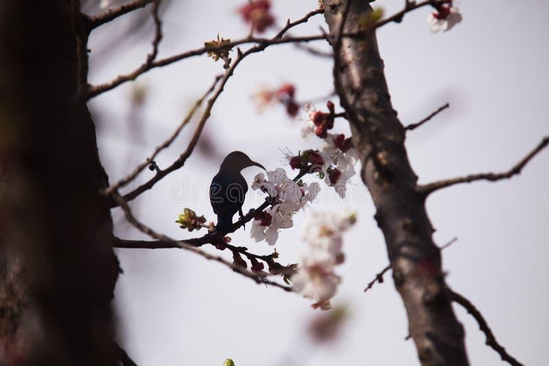 Sunbird porpora sul gambo di un albero di albicocca con i fiori fotografia stock
