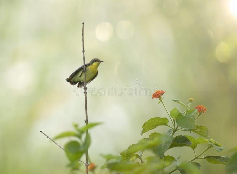 Sunbird pourpré Nectarinia asiatica photographie stock libre de droits