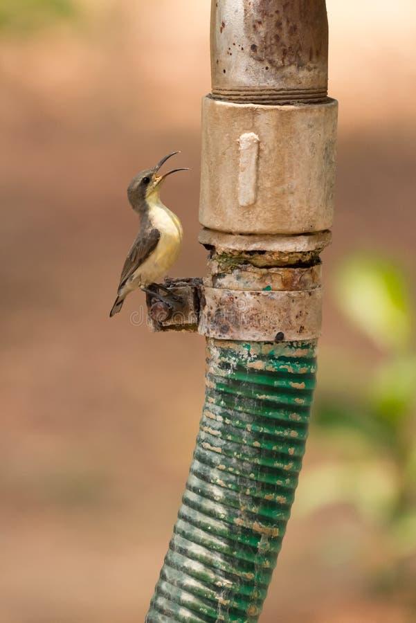 Sunbird roxo fêmea empoleirado na mangueira plástica foto de stock