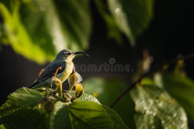 Sunbird roxo masculino empoleirado e espera fotografia de stock royalty free