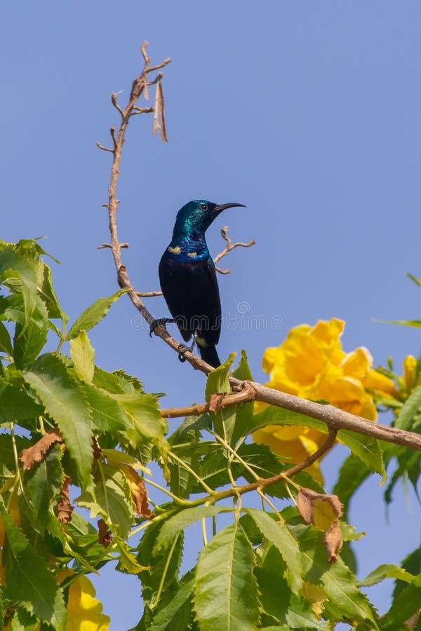 Sunbird roxo masculino mostra fora de seu corpo preto lustroso ao lado de uma flor amarela em Al Ain, asiaticus de Emiratos Árabe fotografia de stock