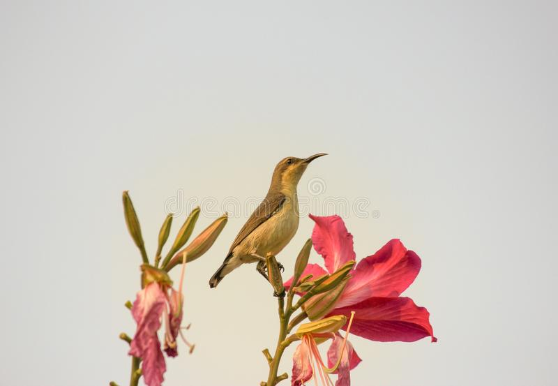 Sunbird Small bird brown in colour, perching on a bud with pink flowers around it .looking up into the sky . Sunbird, small bird with long beak perching on a stock photo