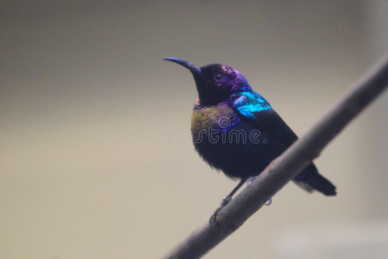 Download Sunbird splendide photo stock. Image du nature, branchement - 45353662
