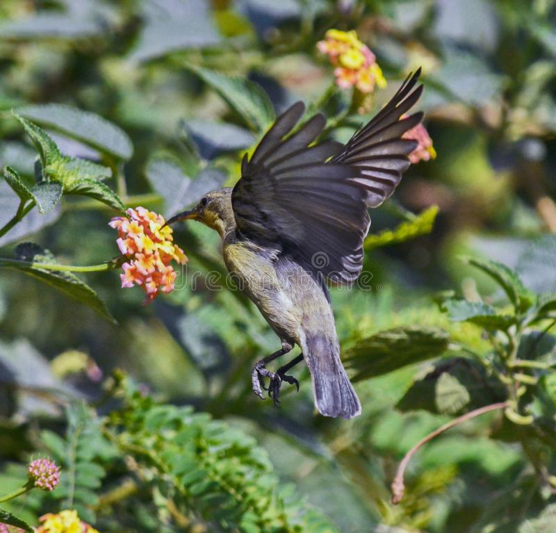 Sunbird. Hovering over the flower royalty free stock image