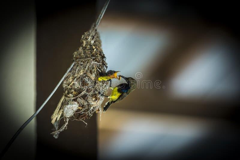 Sunbird suportado azeitona imagem de stock royalty free