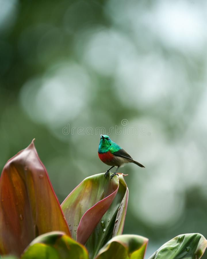 Sunbird, Uganda stock images