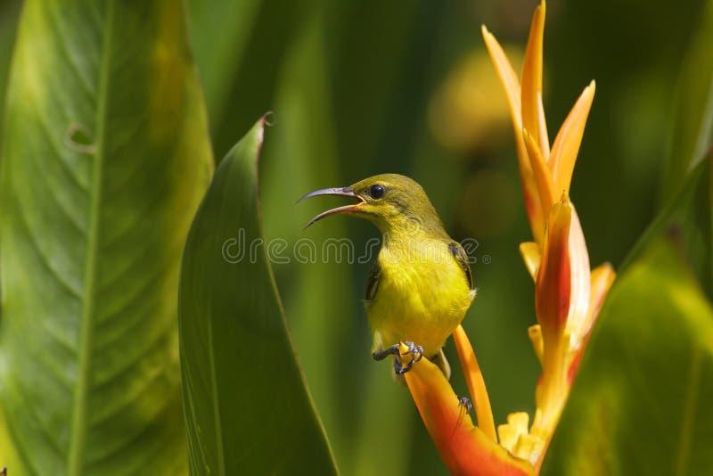 SUnbird unter dem heliconia lizenzfreie stockbilder