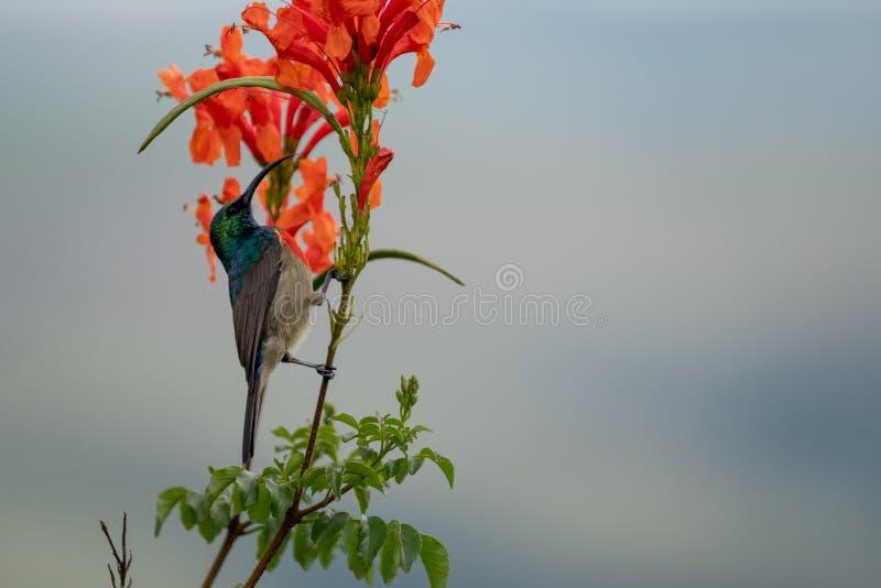 Sunbird variopinto con le piume iridescenti di colore, fotografate nelle montagne di Drakensberg vicino al picco di Cathkin, il S fotografia stock