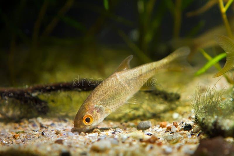 Sunbleak modéré de poisson d'eau douce, delineatus de Leucaspius, recherches de nourriture sur le fond de sable dans l'aquarium d photos stock