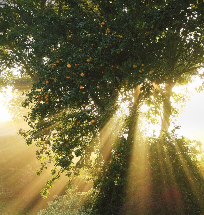 Sunburst da árvore de Apple foto de stock