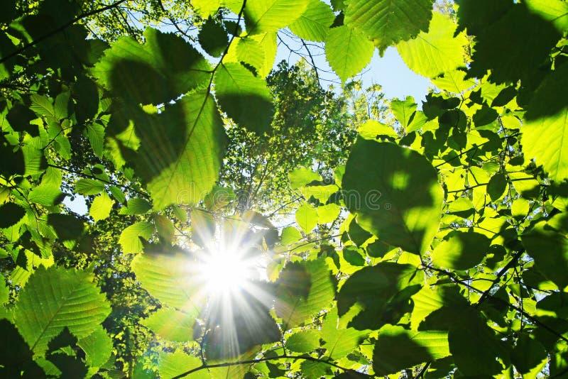 Sunburst through green beech leaves. At springtime royalty free stock photography