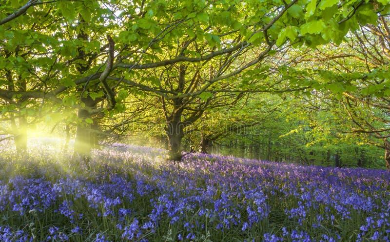 Sunburst przez drzew iluminuje bluebells zdjęcia royalty free