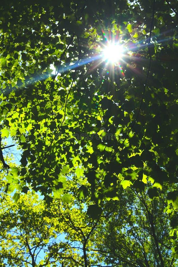 Sunburst som kikar till och med träden royaltyfria foton