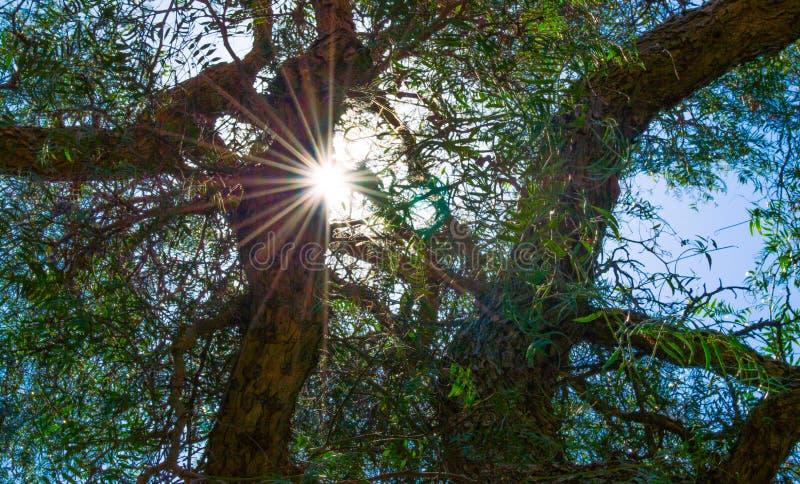 Sunburst som skiner till och med träd royaltyfri fotografi