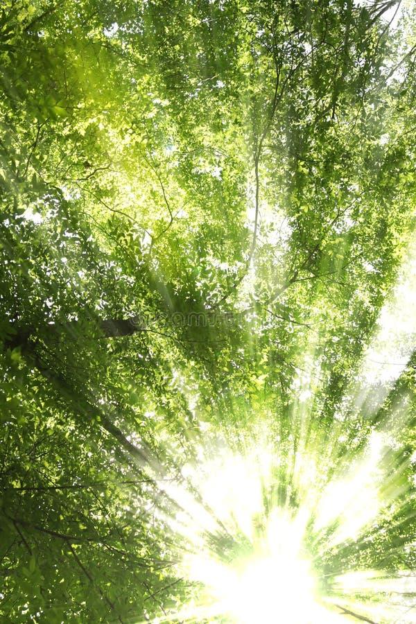 sunbursttrees fotografering för bildbyråer