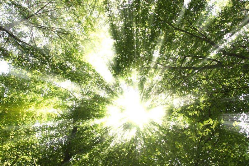 sunbursttrees royaltyfri bild