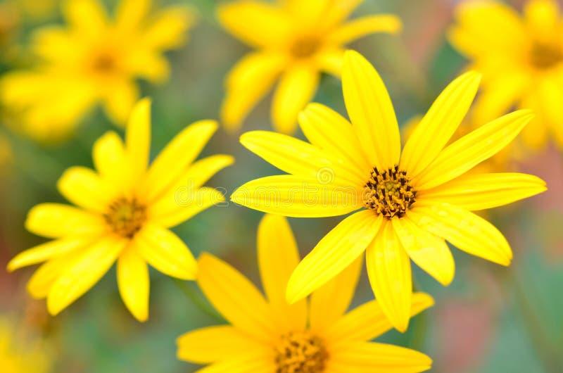 Sunchoke or Jerusalem Artichoke. Topinambour (Helianthus tuberosus) flowers in garden royalty free stock photos