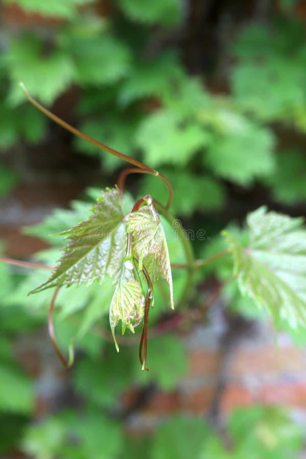 Sund grön vinranka som ut når till kameran royaltyfri bild