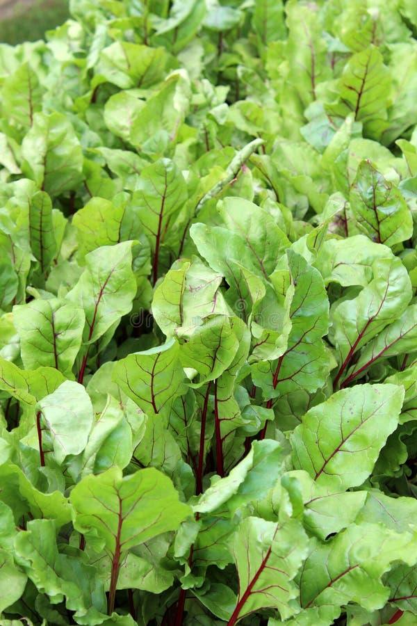 Sund grönsallat lämnar i bakgrundsbild av grönsaksäng i trädgårdträdgård arkivfoton