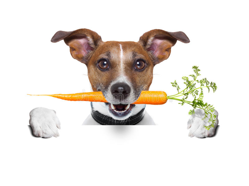 Sund hund med en morot royaltyfria bilder