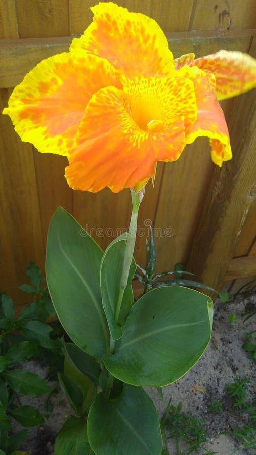 Sund ljus guling- och apelsintigerlilja royaltyfria foton
