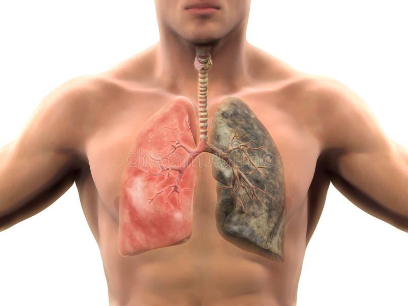 Sund lunga och rökarelunga royaltyfri illustrationer