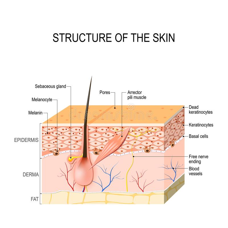 Sund mänsklig hud vektor illustrationer