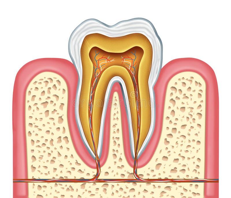 sund mänsklig tand för anatomi royaltyfri illustrationer