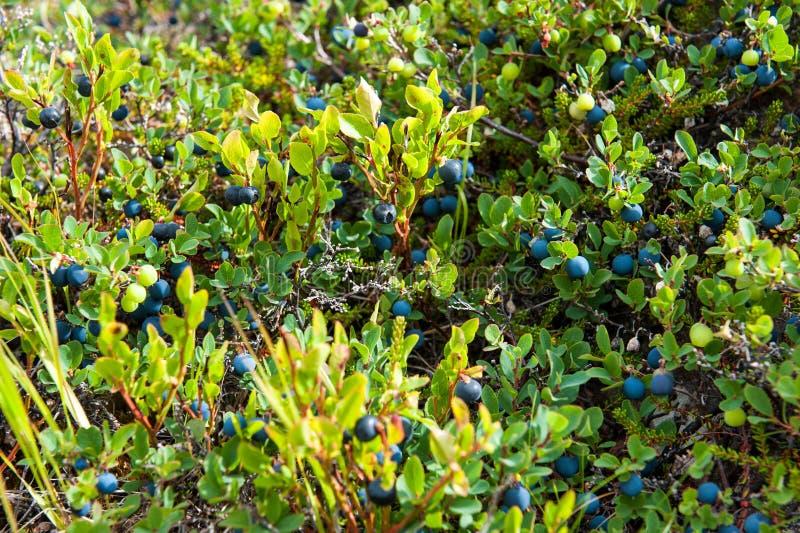 Sund mat, lösa blåbär som växer på en äng, Island royaltyfria foton