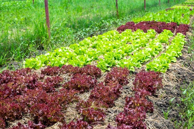 Sund och ren organisk lantgård, råvaragrönsaker i organ royaltyfri bild