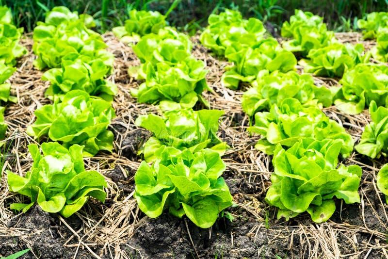 Sund och ren organisk lantgård, råvaragrönsaker i organ arkivfoton