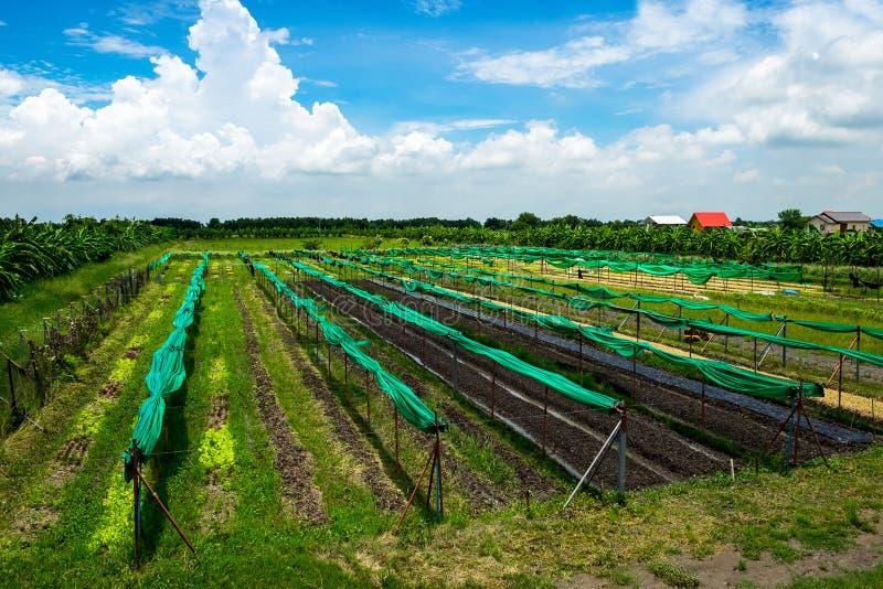 Sund och ren organisk lantgård, råvaragrönsaker i organ arkivbilder