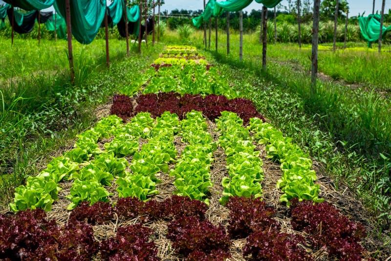 Sund och ren organisk lantgård, råvaragrönsaker i organ arkivfoto