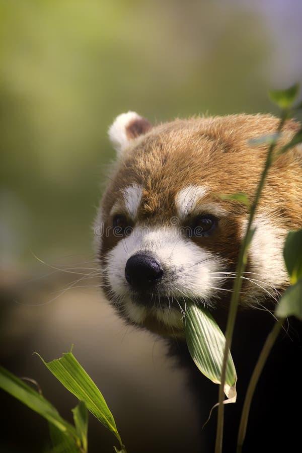 Sund röd panda som äter bambusidor. fotografering för bildbyråer