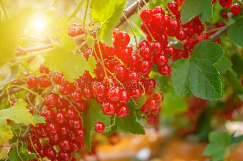 Sund redcurrant på busken i trädgård i sommardag fotografering för bildbyråer