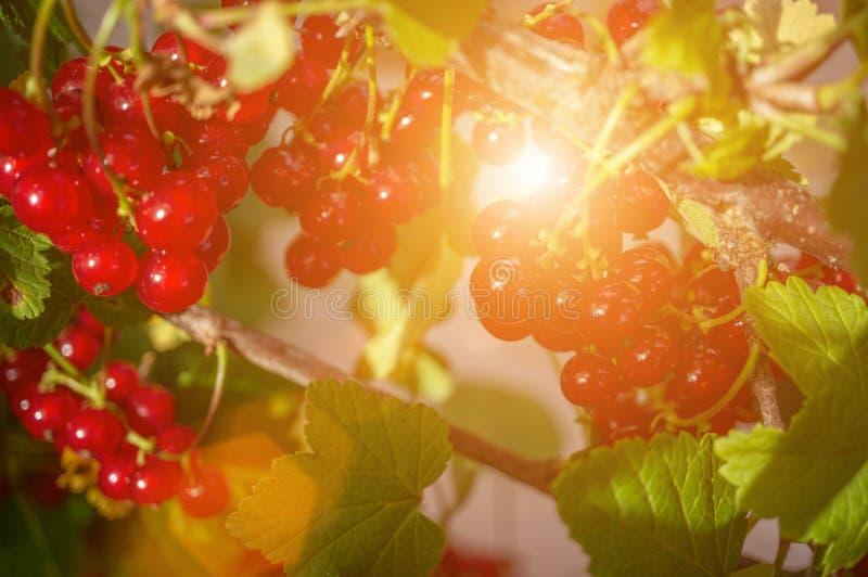 Sund redcurrant på busken i trädgård i sommardag arkivfoto
