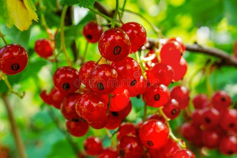 Sund redcurrant p? busken i tr?dg?rd i sommardag arkivfoto