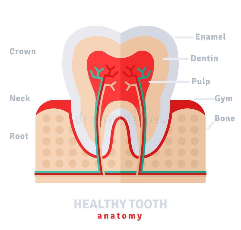 Sund vit tandanatomilägenhet royaltyfri illustrationer