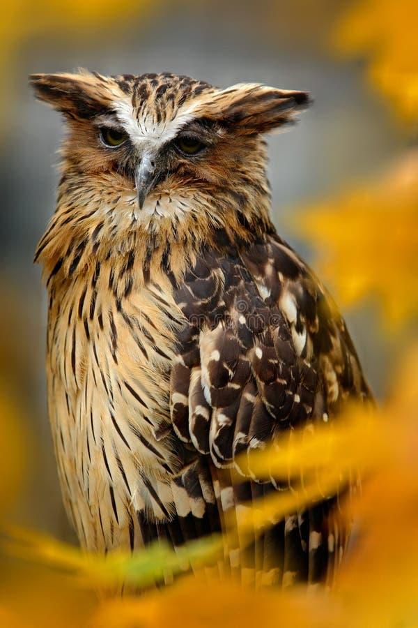 Sunda渔猫头鹰, Ketupa ketupu javanensis,从亚洲的稀有人物 马来西亚美丽的猫头鹰在自然橙色秋天森林栖所 B 免版税库存照片