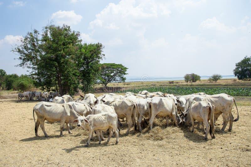 Sunda kor i ett fält fotografering för bildbyråer