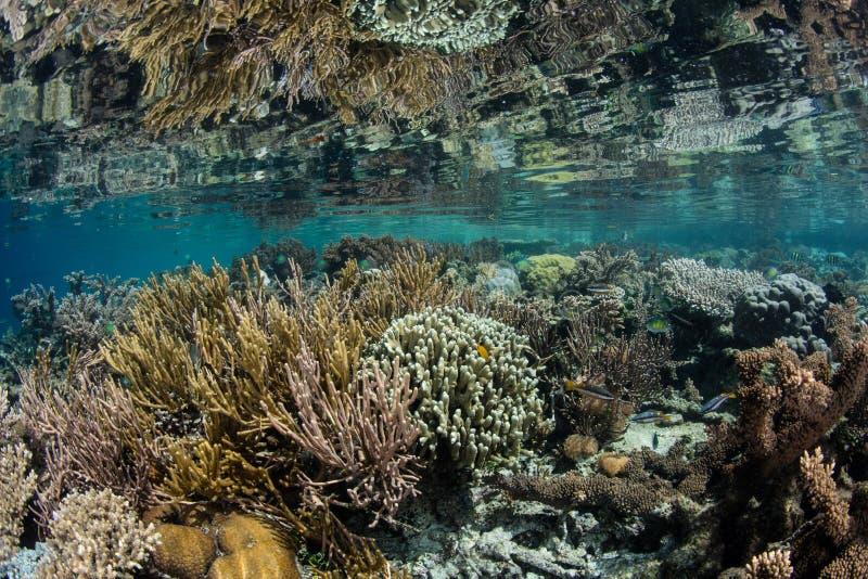 Sunda och härliga grunda Coral Reef i Raja Ampat royaltyfria bilder