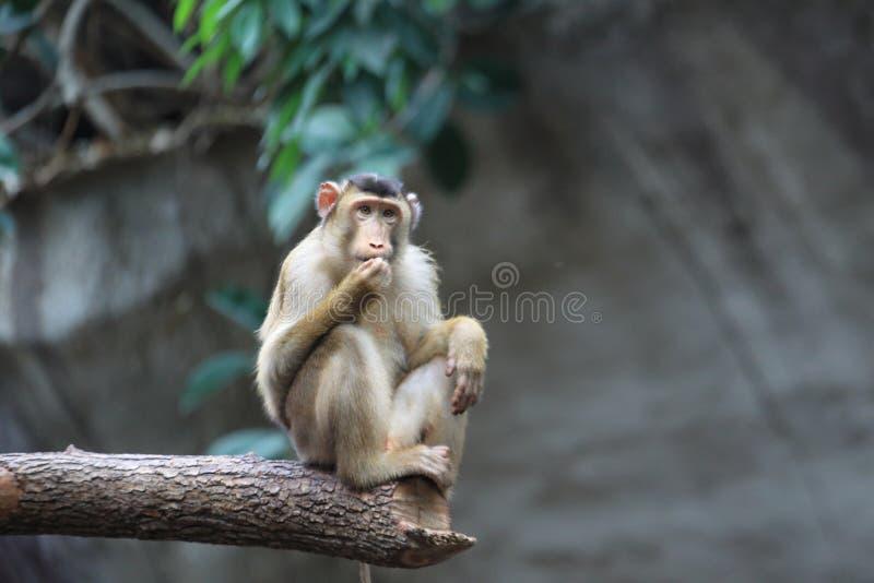 Sunda porco-atou o macaque fotos de stock